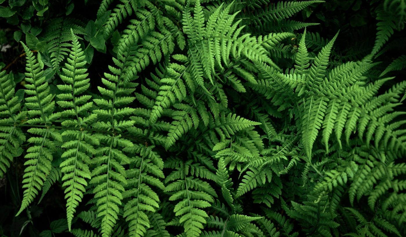 Feuille de fougère, Feuillage décoratif.  Forêt sombre avec de grandes feuilles de plantes un jour d'été